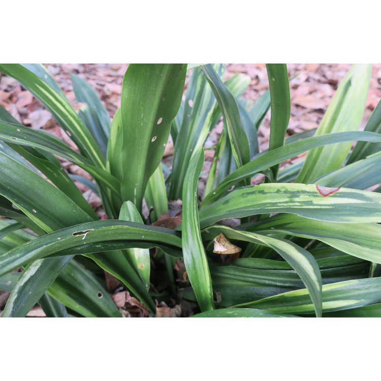 Rohdea japonica 'Shiro Botan' - sacred lily