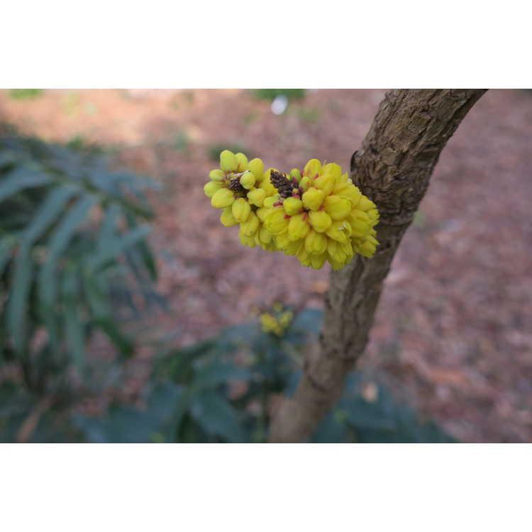 Mahonia oiwakensis - Chinese mahonia