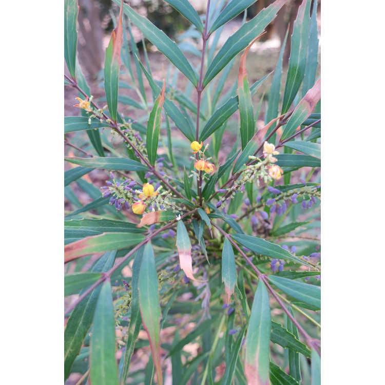 Mahonia eurybracteata ganpinensis