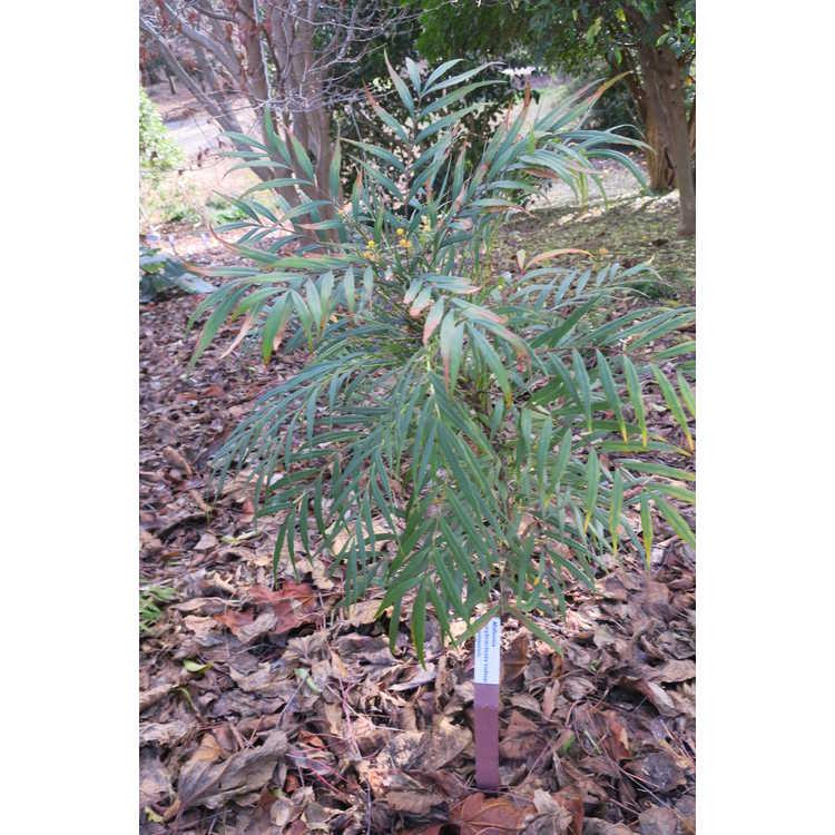 Mahonia eurybracteata subsp. ganpinensis