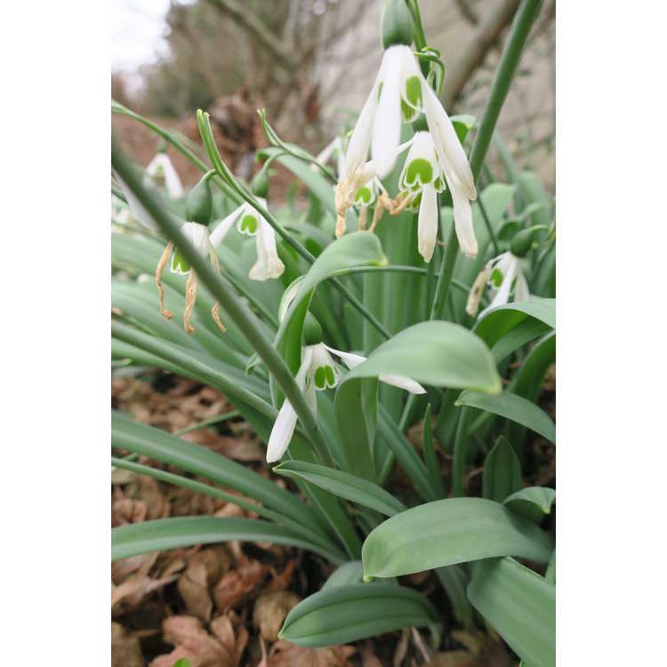 Galanthus elwesii var. monostictus - one-spotted giant snowdrop