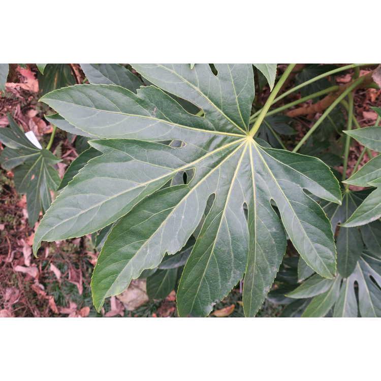 Fatsia japonica 'Sparky'
