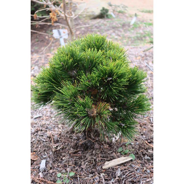 Pinus leucodermis 'Beran Conica'