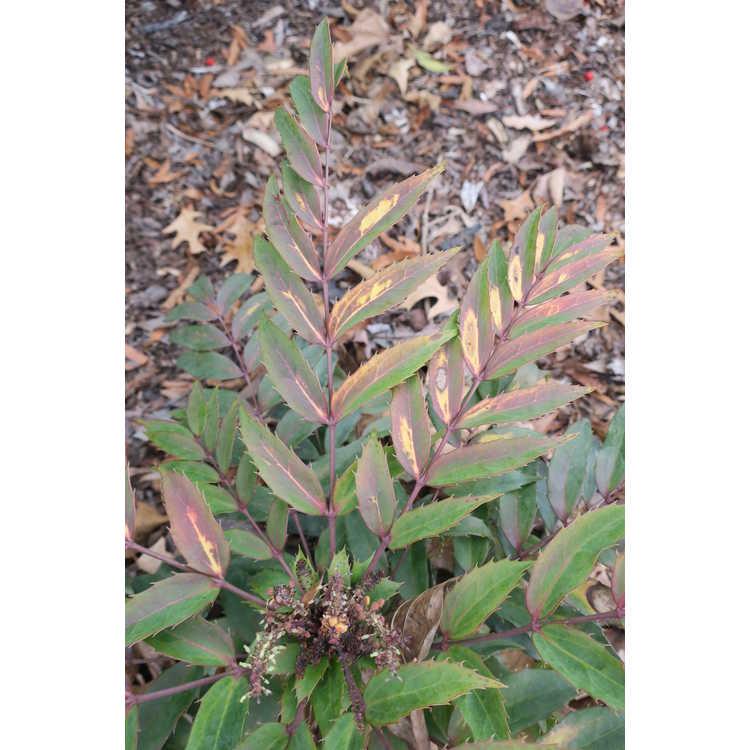 Mahonia eurybracteata (Cistus silver)