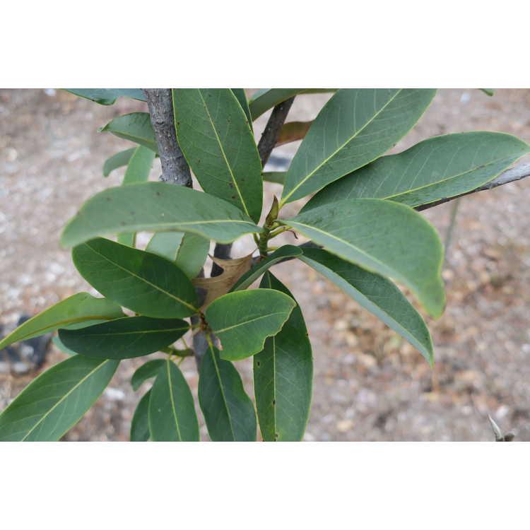 Magnolia 'Katie-O' - hybrid evergreen magnolia