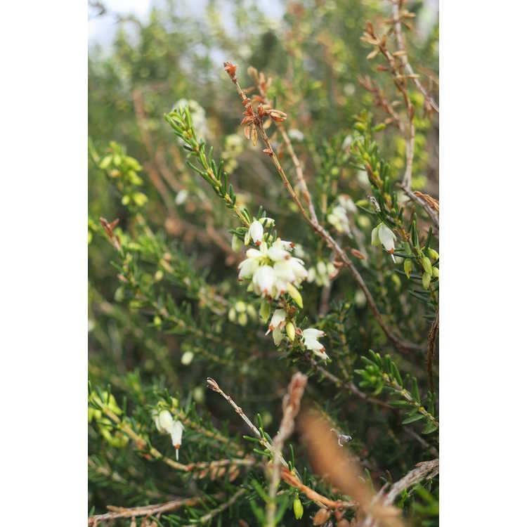 Erica darleyensis White Perfection