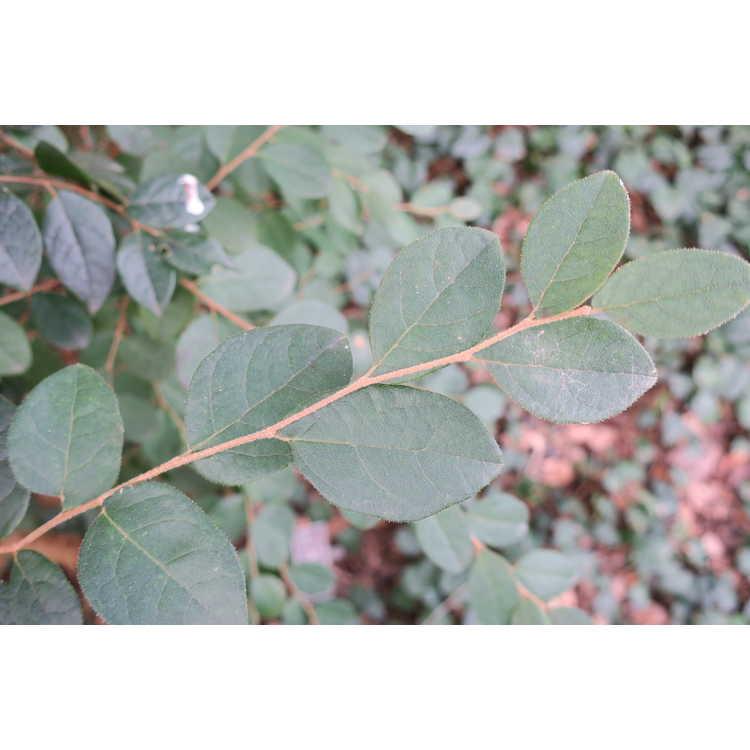 Loropetalum chinense var. rubrum (Piroche form)