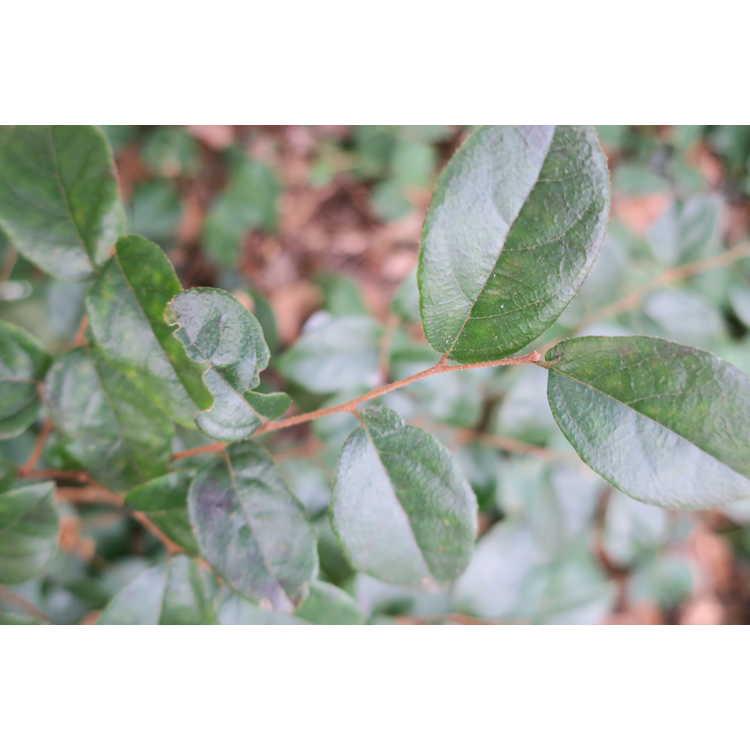 Loropetalum chinense (Dodd form)