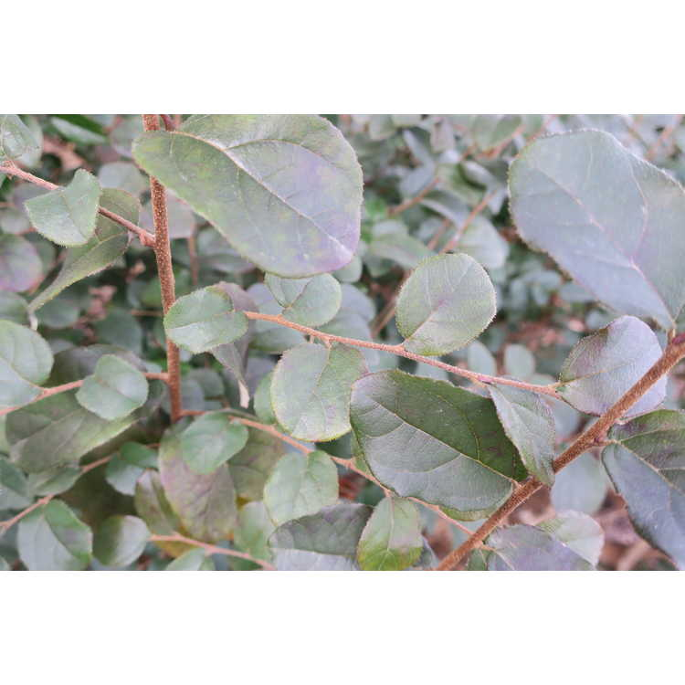 Loropetalum chinense var. rubrum 'Monraz'