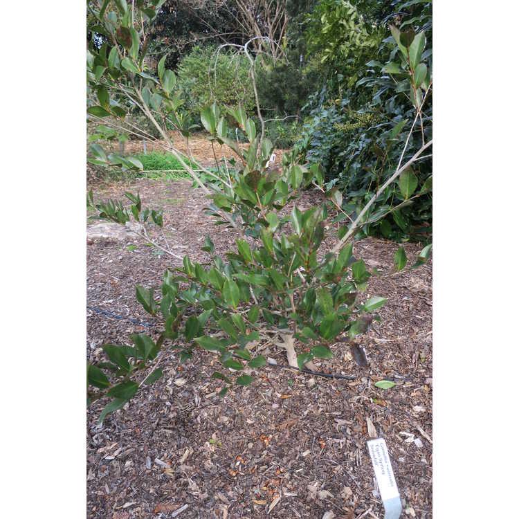 Camellia ×vernalis 'Egao Spring Snowfall'