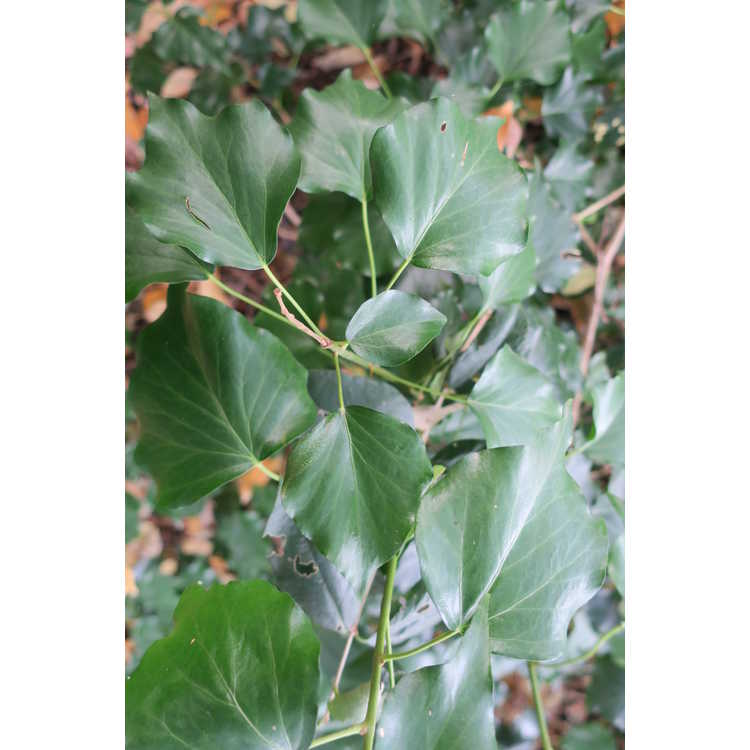 Hedera colchica 'Greenspice' (adult form)