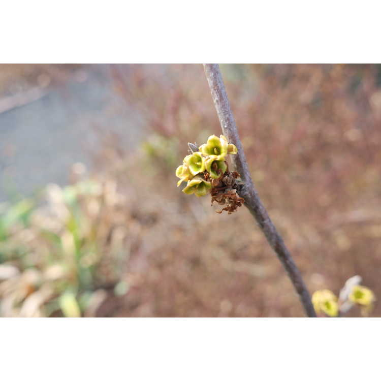 Hamamelis virginiana 'Harvest Moon'
