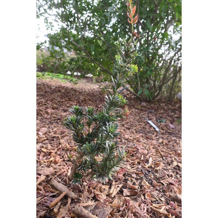 Podocarpus macrophyllus (dwarf)