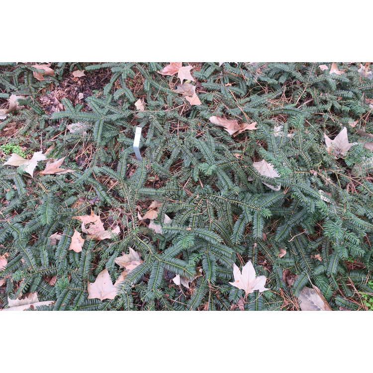 Cephalotaxus harringtonia 'Mary Fleming'