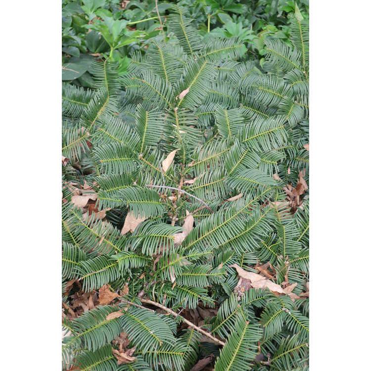 Cephalotaxus harringtonia 'Gnome'