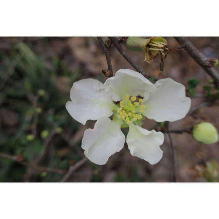 Chaenomeles ×superba 'Jet Trail' - hybrid flowering quince