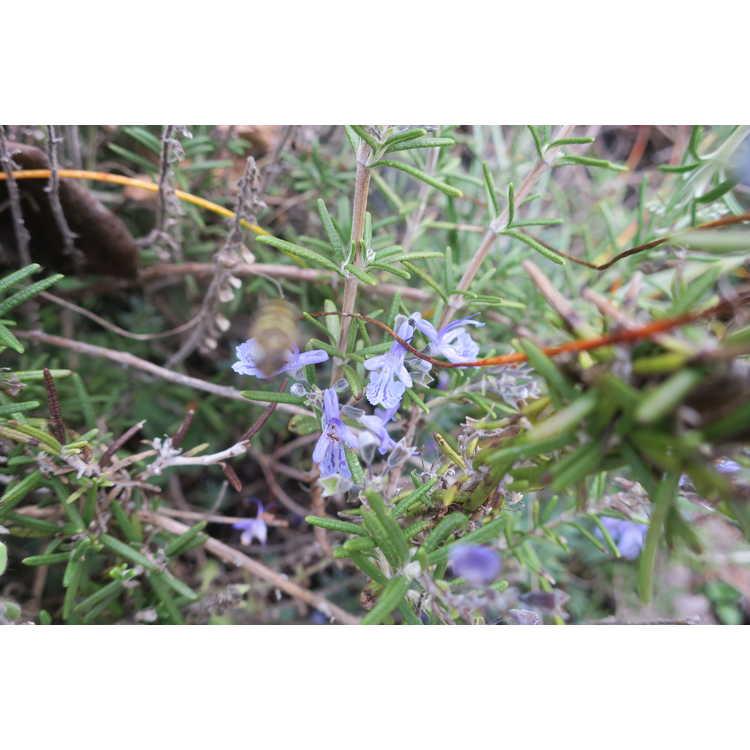 Rosmarinus officinalis 'Renzels'