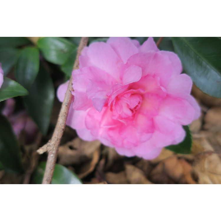 Camellia sasanqua 'Sarrel' - sasanqua camellia