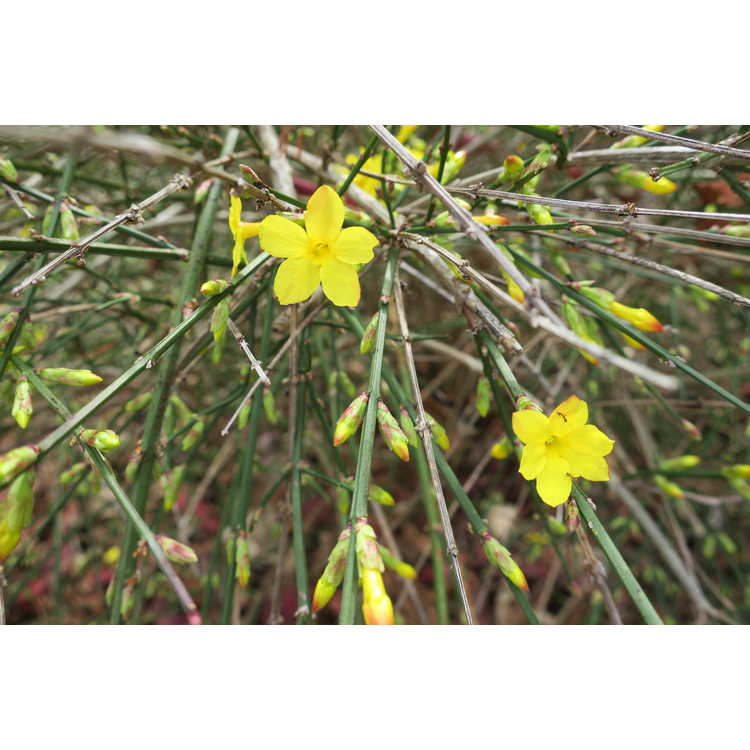 Jasminum nudiflorum 'Aureum' - golden winter jasmine