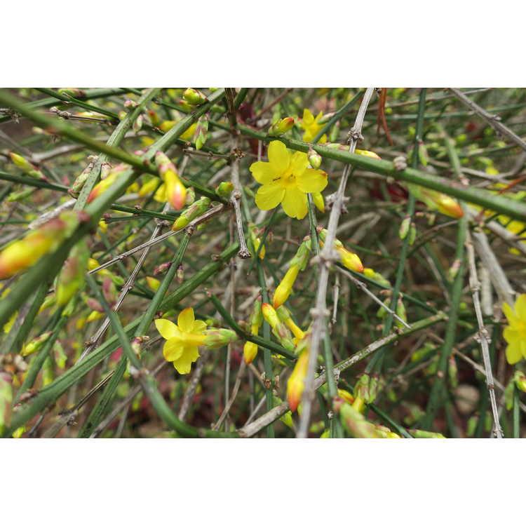 Jasminum nudiflorum Aureum