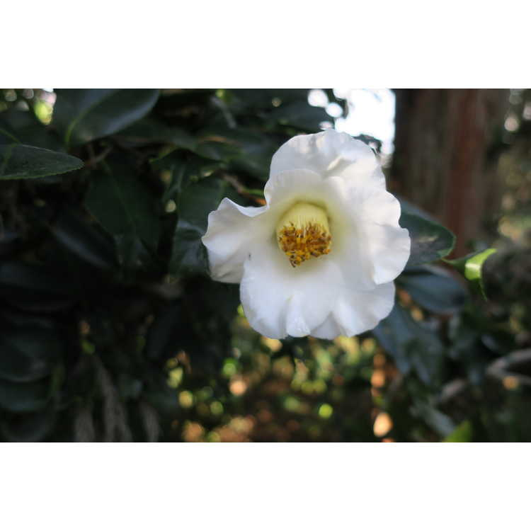 Camellia japonica fishtail, white w/ red stripes