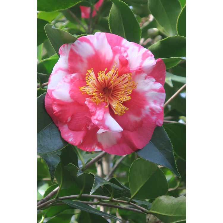 Camellia japonica Reg Ragland
