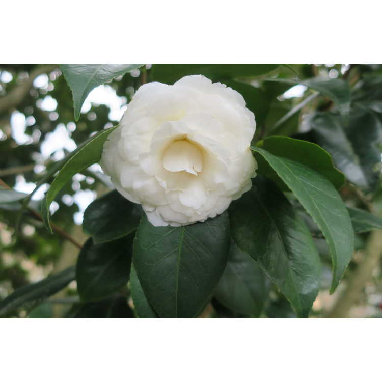 Camellia japonica 'White By The Gate' - Japanese camellia