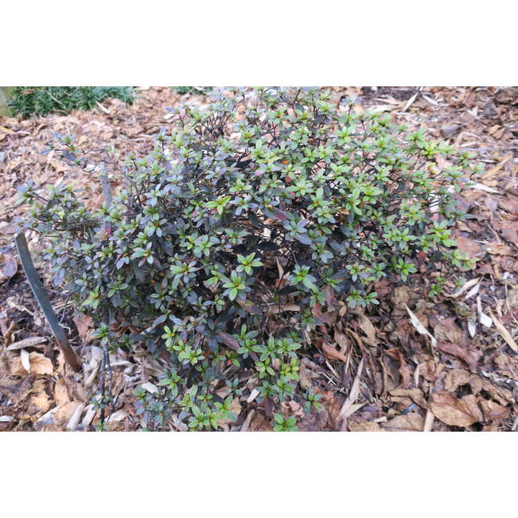 Rhododendron 'Late Love' - North Tisbury hybrid azalea