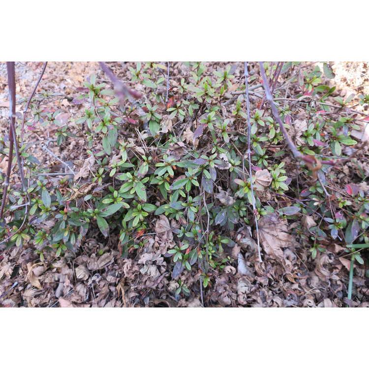 Rhododendron 'Michael Hill' - North Tisbury hybrid azalea