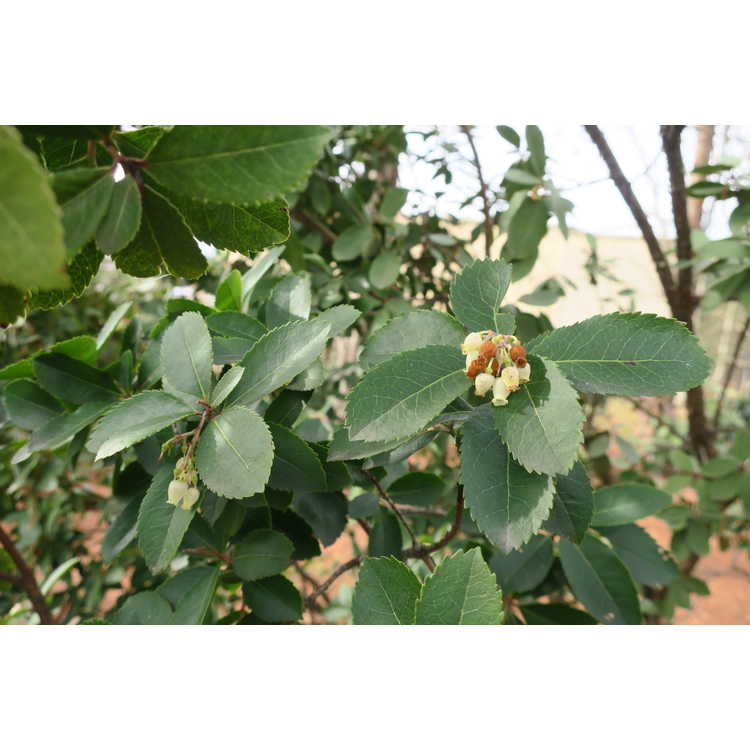 Arbutus andrachnoides