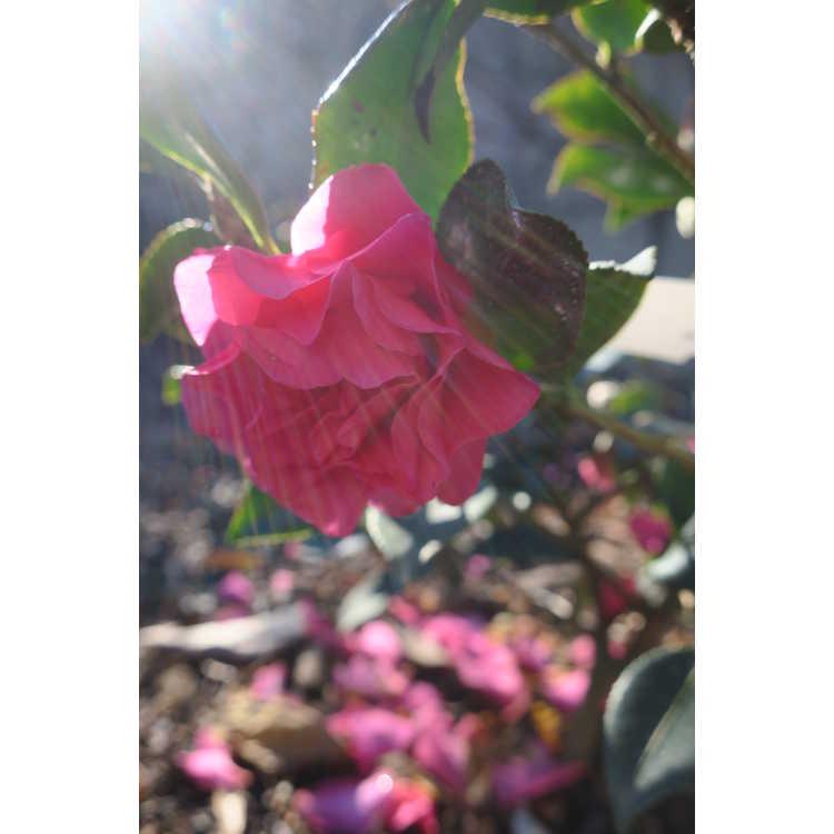 Camellia ×hiemalis 'Shishi Gashira' - hybrid camellia