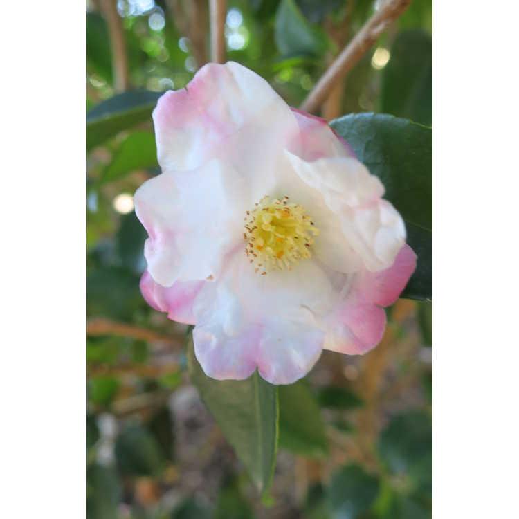 Camellia Yoimachi