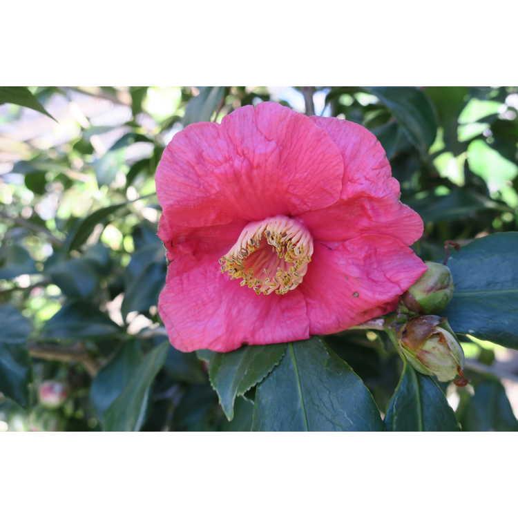 Camellia japonica Ta Fuku Benten