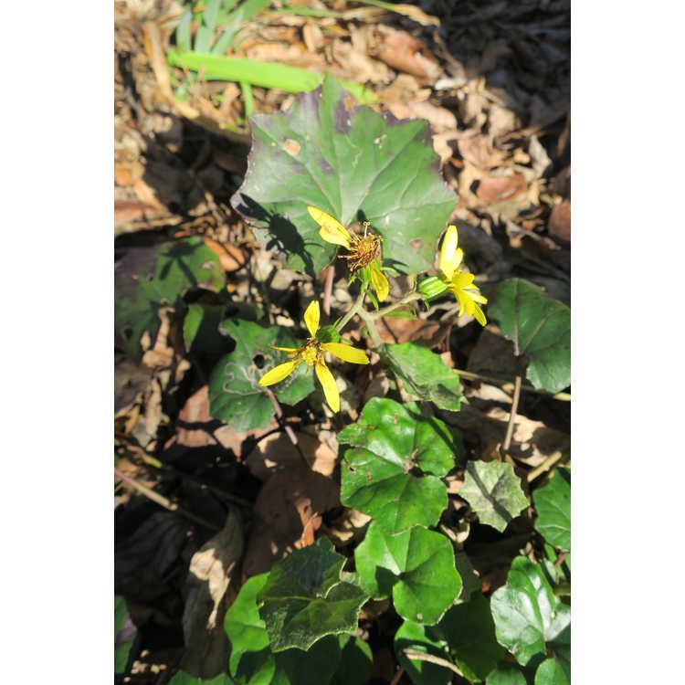 Farfugium japonicum formosanum