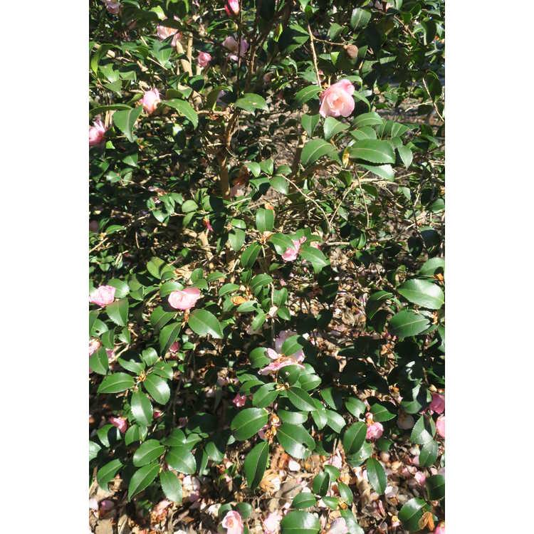 Camellia sasanqua Green 94-035 October Magic Orchid