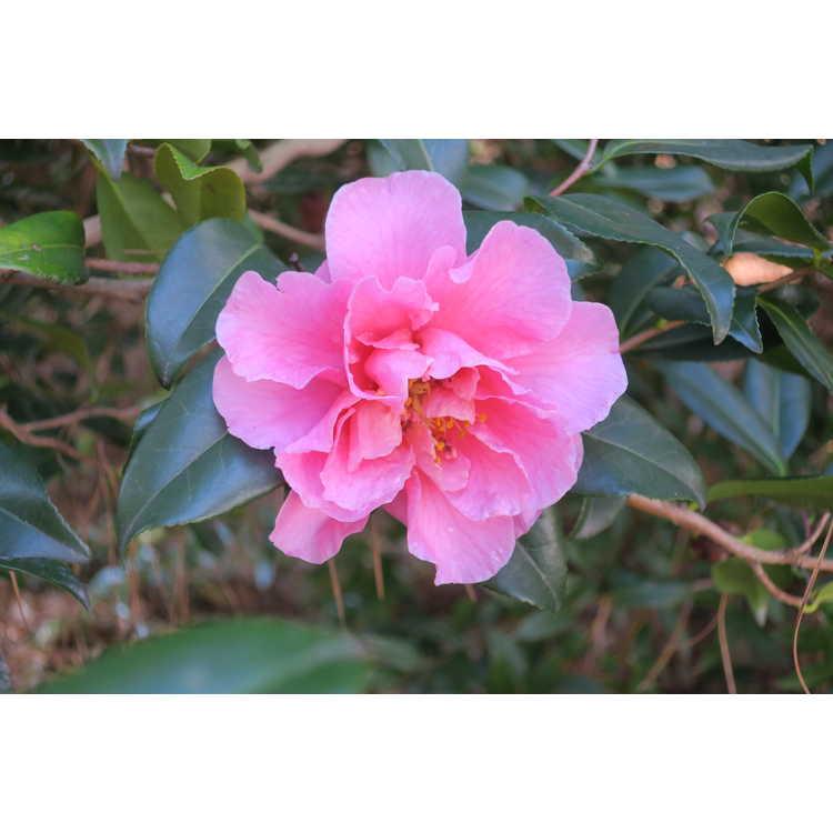 Camellia vernalis Egao Corkscrew
