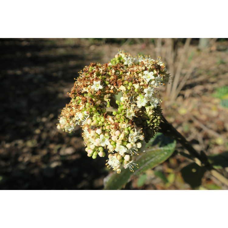 Viburnum rhytidophylloides Interduke Darts Duke