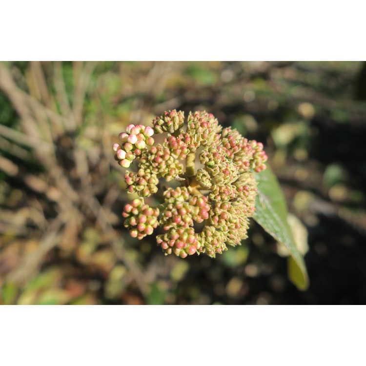Viburnum ×rhytidophylloides 'Interduke'