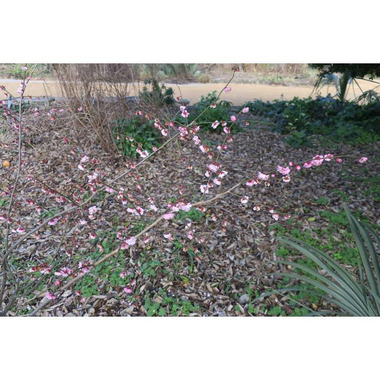 Prunus mume Yuh-Hwa