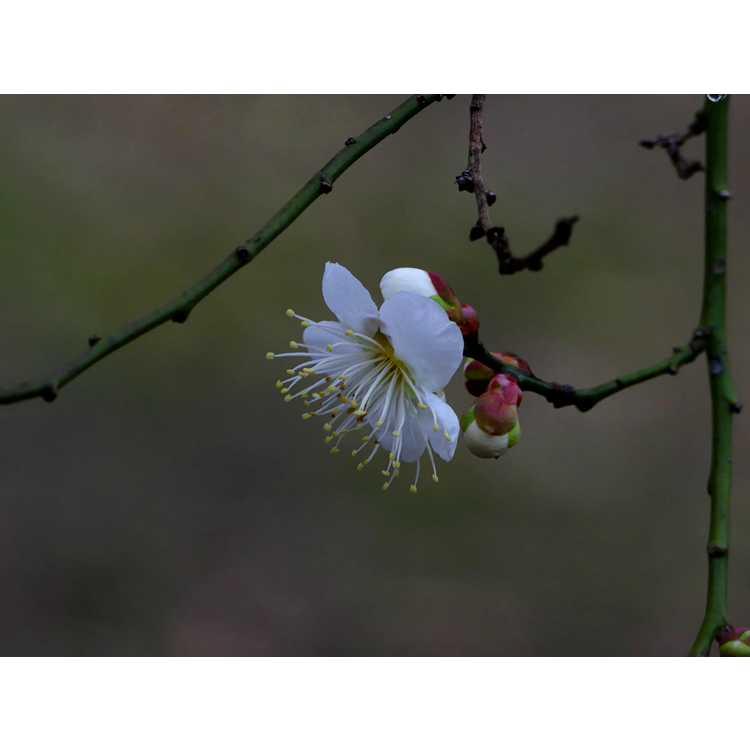 Prunus mume 'Big Joe' - white Japanese flowering apricot