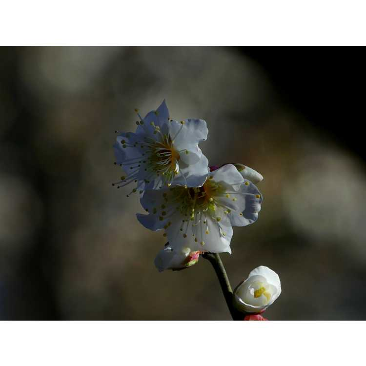 Prunus mume 'Tojibai' - white Japanese flowering apricot