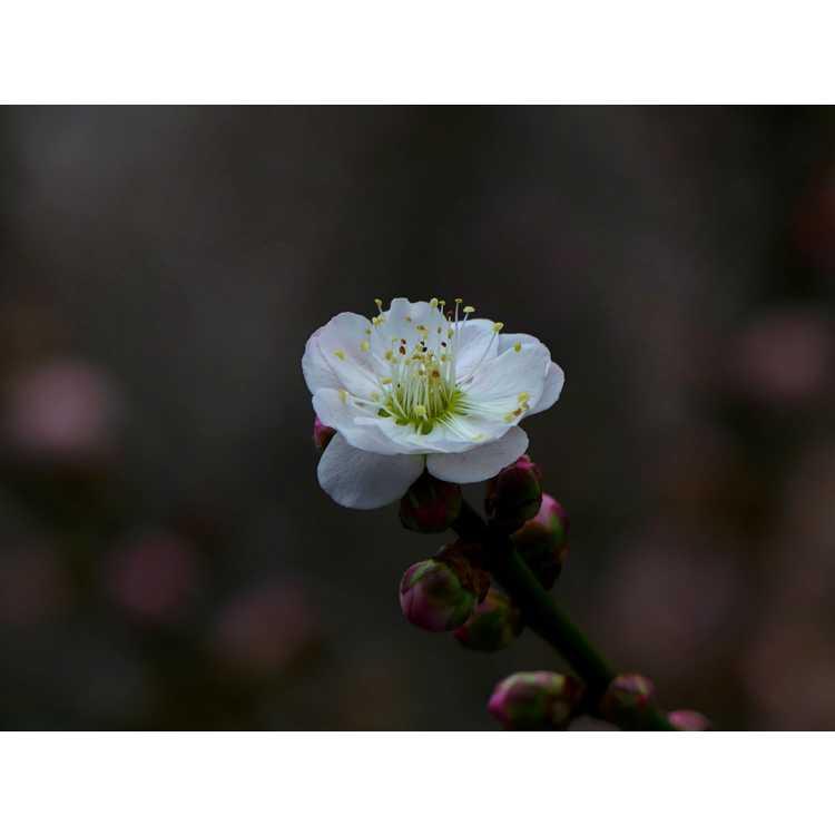Prunus mume Omoi-no-mama