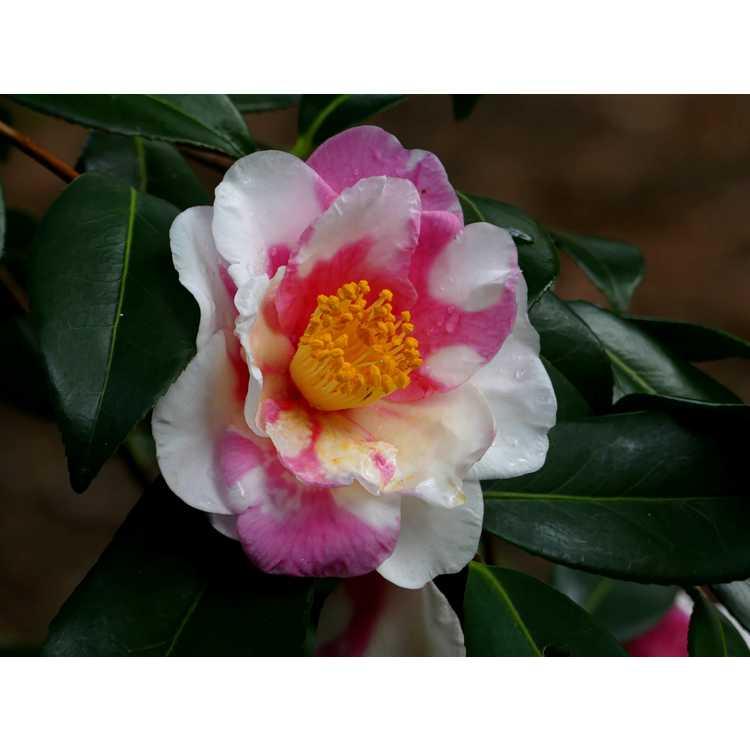 Camellia vernalis Shibori Egao