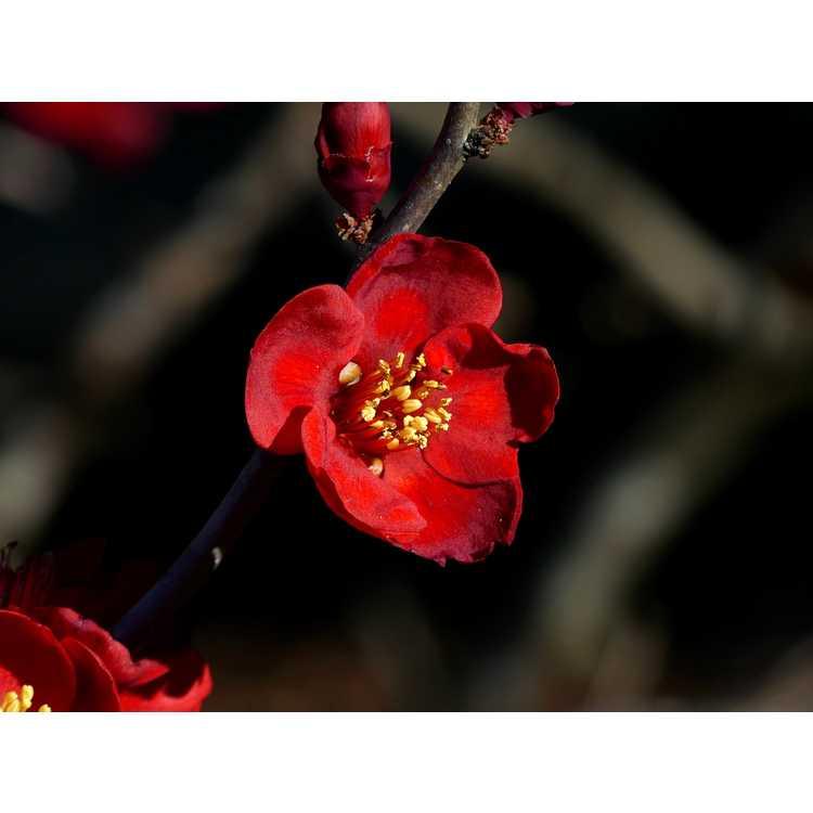 Chaenomeles japonica 'Atsuya Hamada' - Japanese flowering quince
