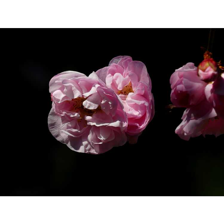 Prunus mume Dawn