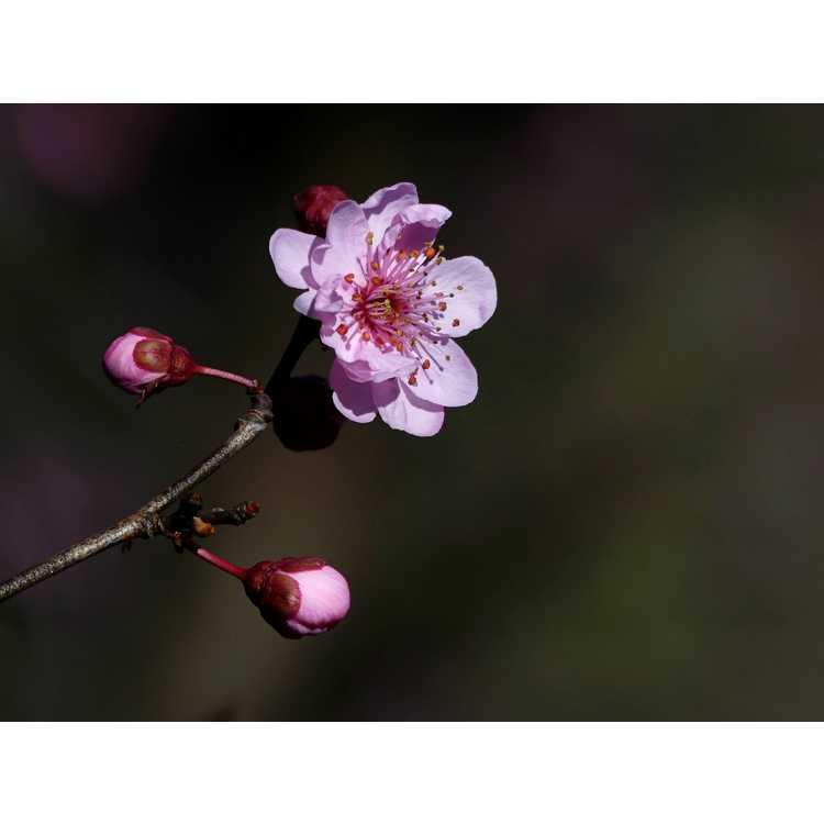 Prunus ×blireana - Blireana plum
