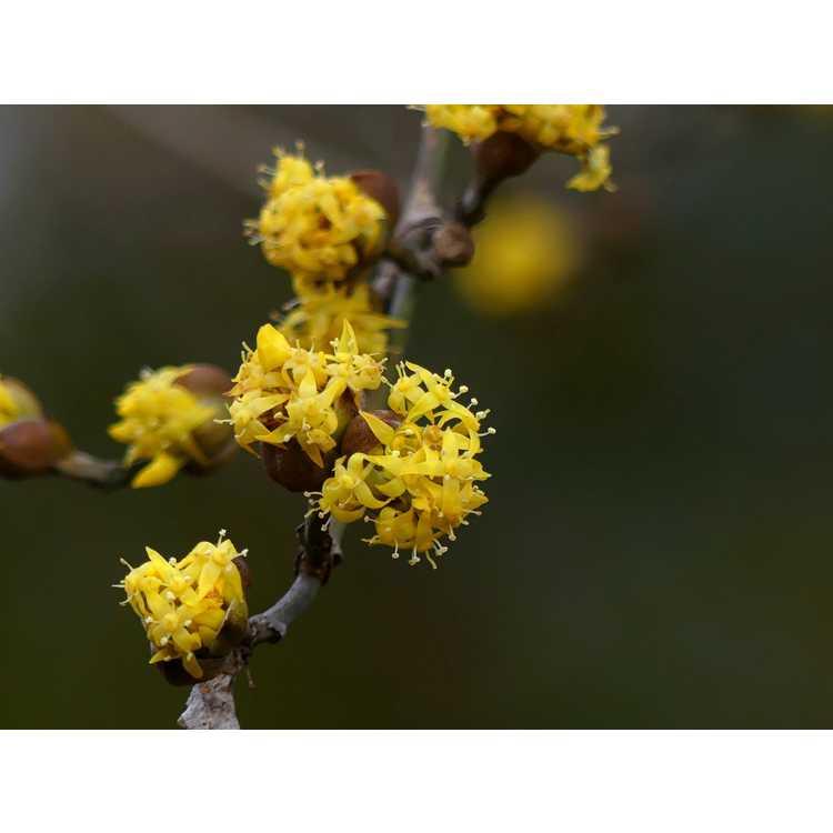 Cornus officinalis Spring Glow