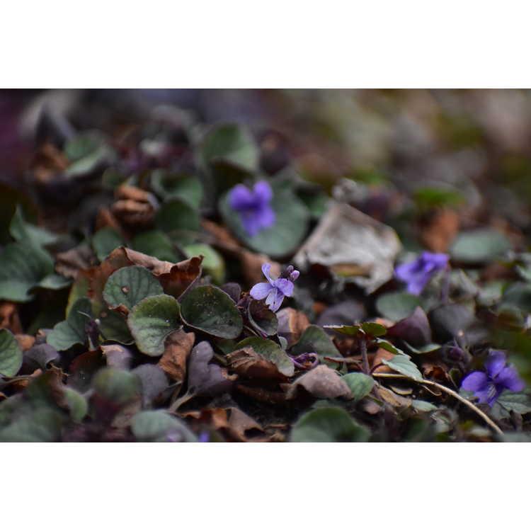 Viola walterii Silver Gem