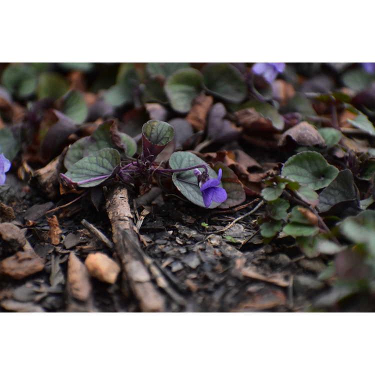 Viola walterii 'Silver Gem'