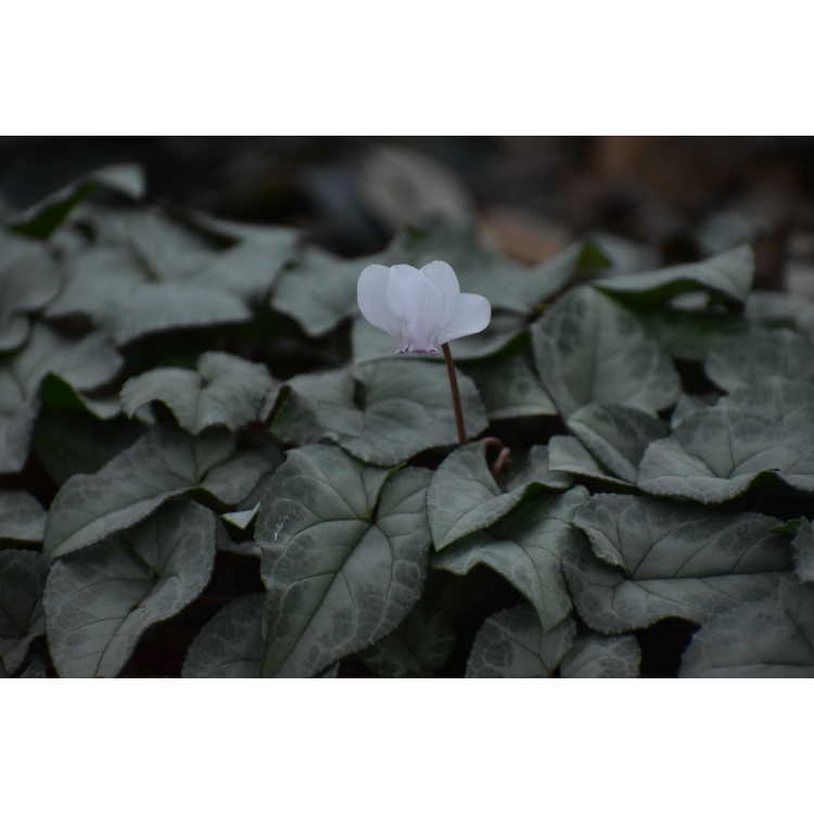 Cyclamen hederifolium Ashwood Nurseries Silver Leaf